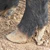 Hoof, mule foot hog
