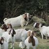 10-31-15: Goats