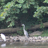 8-8-15: Herons and cranes