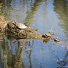 3-24-14- Turtles in the North River