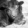 3-15-14- Calf