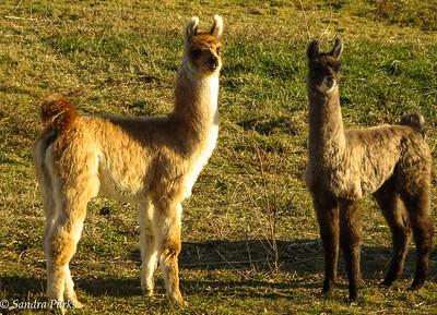 11-27-16: Baby llamas