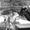 2-20-16: Goats