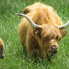 5-14-16: Highland cattle