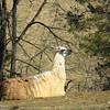 2-20-16: Thistle ridge Llama