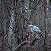 1-17-15: Heron, at Wildwood.