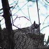 1-17-15: Screech owl, at Wildwood.