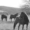 2-20-16: Horses, Ridge ROad