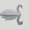1-19-16: Swan at Wildwood