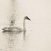 2-7-15: Trumpeter, Silver Lake