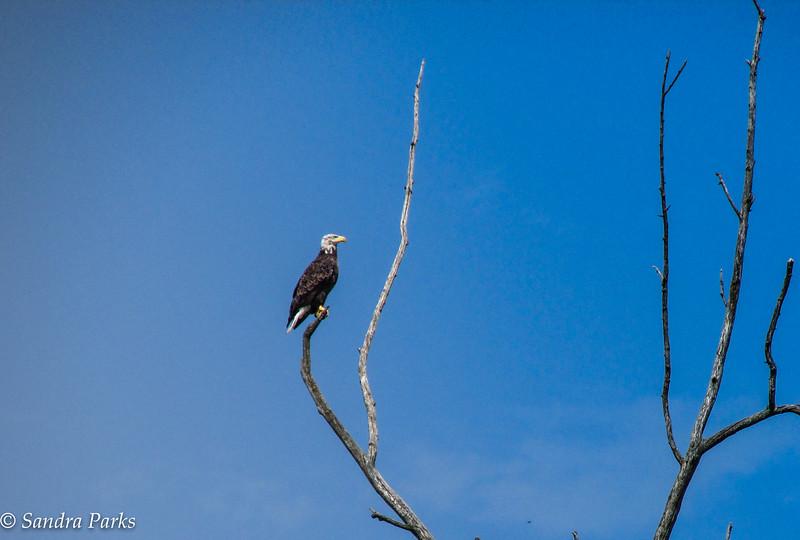 7-13-16: Bald eagle, Airport Road