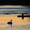 1-19-16: Swan at Wildwood, at sunrise