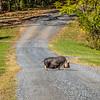 10-30-16: Pig crossing