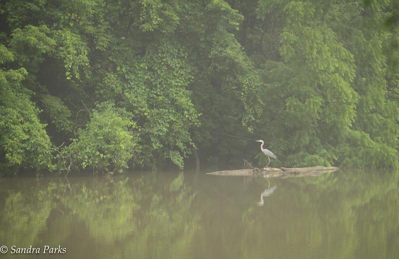 6-28-16: Heron, back at Wildwood.