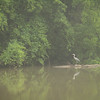 6-28-16: Heron, back at Wildwood.