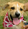 """Adele is a 14 week old Potcake puppy that we are adopting from the Sayerville Animal Shelter.   We met her yestarday and she should come home with us next week sometime.   This is the photo from the sheters' petfinder website. <br /> <br /> More on Potcake dogs here:<br />  <a href=""""http://en.wikipedia.org/wiki/Potcake_Dog"""">http://en.wikipedia.org/wiki/Potcake_Dog</a>"""