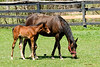 """April 25th<br /> <br /> THE WONDERS OF SPRING...<br /> <br /> More pictures of mom and foal here:   <a href=""""http://mom4squirrels.smugmug.com/gallery/2481328#146908241"""">http://mom4squirrels.smugmug.com/gallery/2481328#146908241</a><br /> <br /> <br /> <br /> <br /> <br /> SONG FOR SPRING<br /> <br /> It's almost here - It's safe to say<br /> I saw a Crocus yesterday<br /> Its' colors bright - A lovely thing<br /> My heart Rejoiced! 'Twil soon be Spring!<br /> <br /> The winter blues will soon be gone<br /> And birds will soon burst forth in song<br /> The coral bells will gently ring<br /> The Daphne yells """"It's almost Spring!""""<br /> <br /> It's neary here! It's coming fast!<br /> The Robins will appear at last<br /> Oh Wonderous Joy! I too shall sing!<br /> And join in Nature's """"Song for Spring""""<br /> <br /> M.Garren"""
