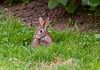 July 6th<br /> <br /> BUNNY IN CLOVER<br /> <br /> (