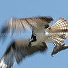 Troutslayer... Osprey