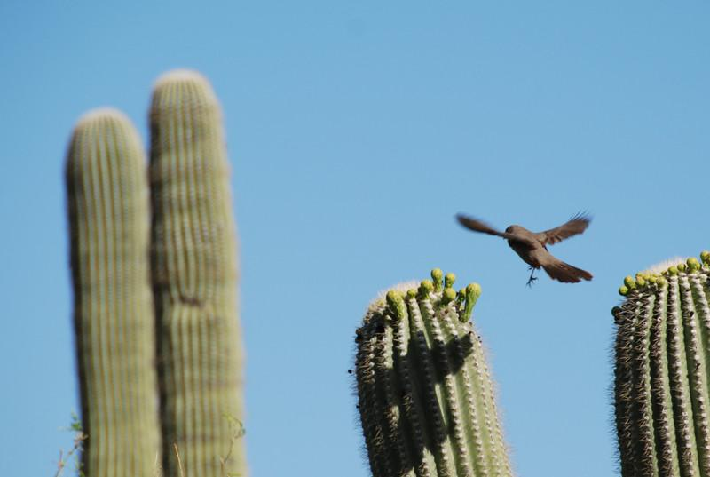 Bird flying from one saguaro arm to the other, presumably eating bugs. Saguaro NP, Tucson, AZ.