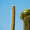 Thrasher on top of a saguaro cactus in Saguaro National Park East