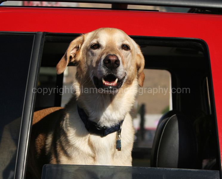 """Dogs in Cars...Series #1...So its said, """"Ya can't swing a dead cat above yer head in Missoula without hittin a dog in a car""""...(or a truck for that matter@-)"""