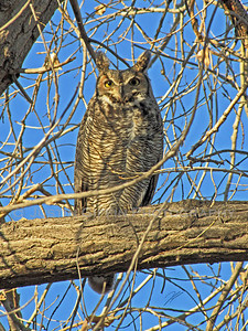 Great Horned Owl. Coal Creek Arena, Aurora, CO