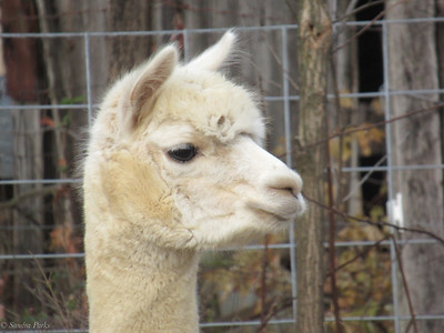 11-19-19: ALpacas, Summit Ridge