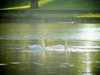 6-14-13: Swans on Silver Lake, with the cygnets