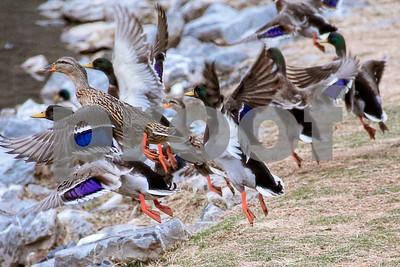 2-23-13: duck colors