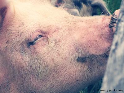 6-9-13: Dry RIver Pig.
