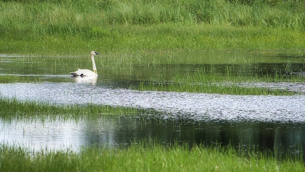 Trumpeter swan P54