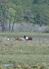 Wild Ponies, Asssateague NWR, VA