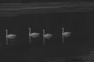 9-4-12- Trumpeter swans, glowing in the dark