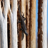 Tree lizard on saguaro ribs in Saguaro National Park, Tucson.