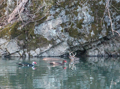 2-11-17: Two ducks and a deer, swimming along in the North River