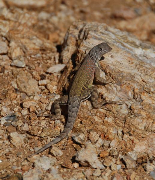 Pretty lizard in Saguaro NP, Tucson, AZ.