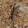 Pretty lizard in Saguaro NP, Tucson, AZ.