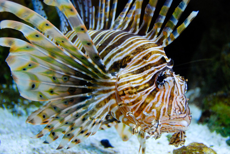Turkeyfish at the Aquarium of the Pacific in Long Beach. Very similar to a Lionfish.