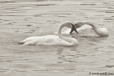 6-19-12- Swans in the North River