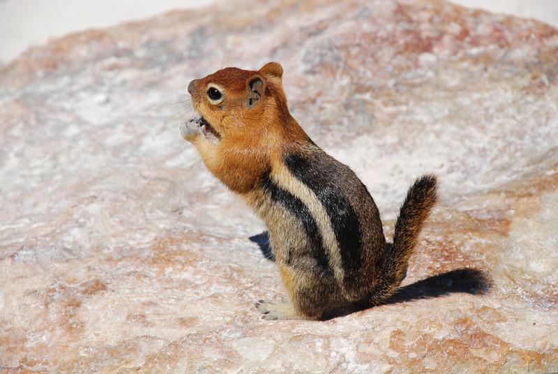 Ground squirrel at Bumpass' Hell in Lassen Volcanic National Park