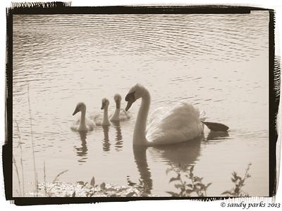 6-26-13: Silver Lake Swans