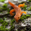 It's newt season in the North American forests.  I really need to get better at shooting them.  Ah, my next project.
