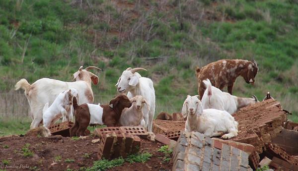 3-28-2020: Goats