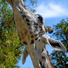 "Giraffe at the Los Angeles Zoo. Another photo of this giraffe is my <a href=""http://jawsnap.smugmug.com/gallery/7157835_BfJPF#483482821_oaVJ8"">3/1/09 daily</a>."