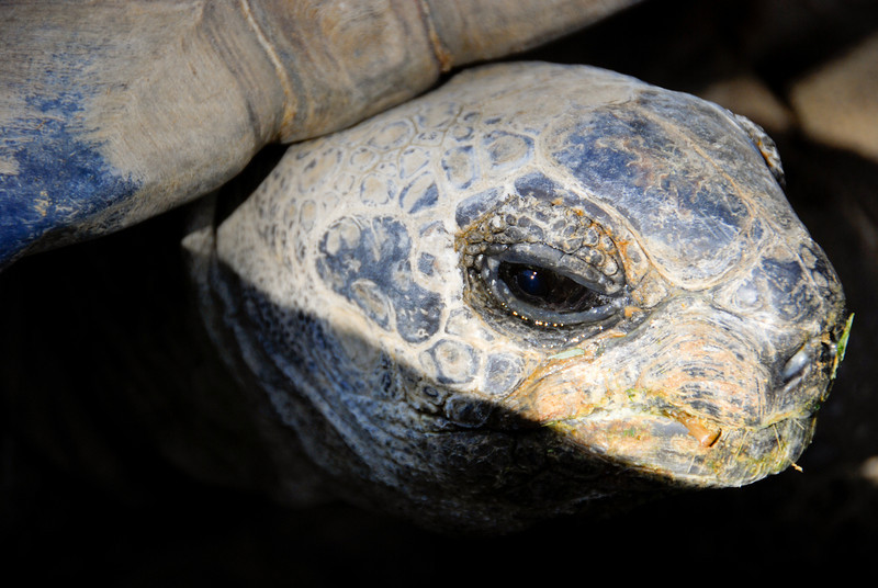 Aldabra Tortoise (Geochelone gigantea) at the Los Angeles Zoo