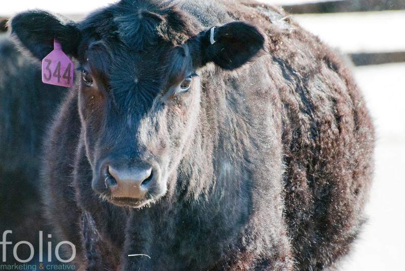maine cows