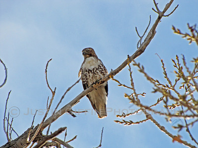 Red Tailed Hawk. Coal Creek Arena, Aurora, CO