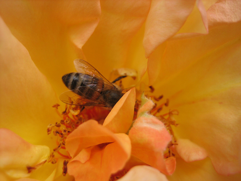 A bee getting busy with a rose in the Huntington Rose Garden in San Marino (near LA).