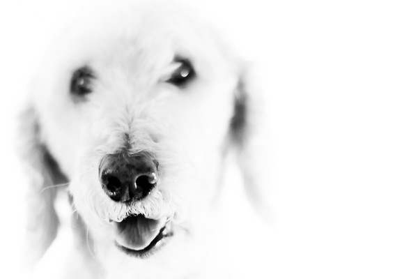 High Key Poodle 3